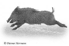 Wildschwein-D500-227376