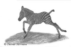 Zoo-Zebra-D850b-039745