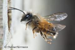 Gehoernte-Mauerbiene-Maennchen-D810-242167