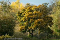Herbstlicher-Baum-am-Langen-Teich-_DSC8350
