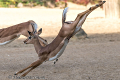 Zoo-Impala-D850b-039054