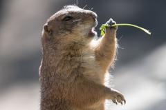 Zoo-Prairiehund-D850b-012145