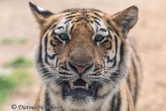 Zoo-Tiger-D850-254639