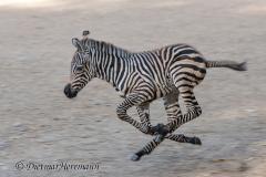 Zoo-Zebra-D850b-039747